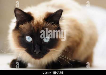 Piercing blue eyes of 'Ragdoll' breed of domestic cat - Stock Photo