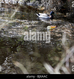 Duck in polluted water - Stock Photo