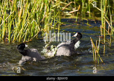American Coots fighting - Green Cay Wetlands - Delray Beach, Florida USA - Stock Photo