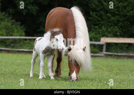 American Miniature Horses - Stock Photo