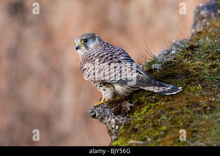 Common Kestrel Falco tinnunculus hawk falcon - Stock Photo