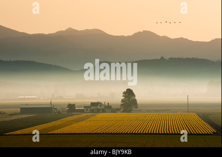 An early spring morning in the Skagit Valley. Daffodil fields and morning fog dominate the landscape just before - Stock Photo
