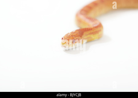 Corn snake photographed on a white background - Stock Photo