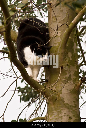 Hungry black and white cat vigilantly hunting for birds of prey on branches of eucalyptus tree and prepared to catch - Stock Photo
