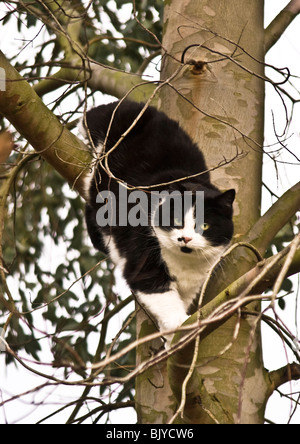 Hungry cat vigilantly hunting for birds of prey on eucalyptus tree, looking at the camera, and prepared to jump - Stock Photo