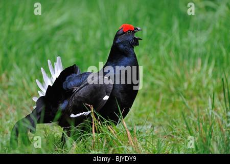 Black grouse (Lyrurus tetrix / Tetrao tetrix) male calling - Stock Photo
