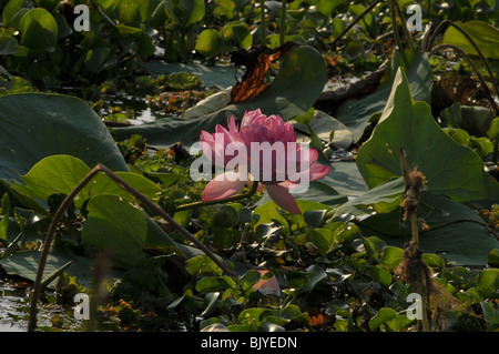 Blue lotus flower surrounded by plants in the lake - Stock Photo
