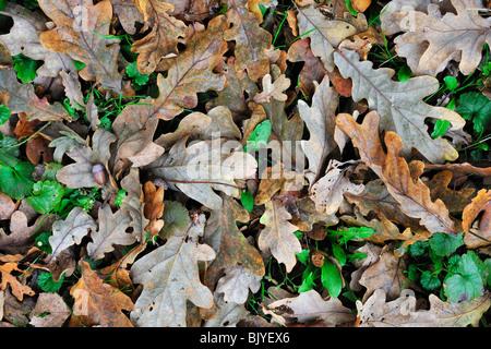Fallen English / Pedunculate oak (Quercus robur) leaves on the forest floor in autumn, Belgium - Stock Photo