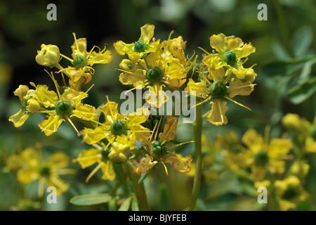 Common rue / Herb-of-grace (Ruta graveolens) in flower, Belgium - Stock Photo