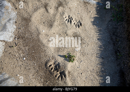 four dog paw prints in the sand - Stock Photo