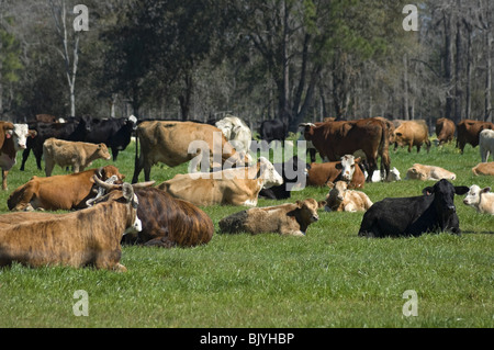 herd of multi colored cows in pasture rural North Florida - Stock Photo