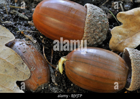 English oak tree (Quercus robur) acorns shoot / germinate on forest floor in autumn, Belgium - Stock Photo