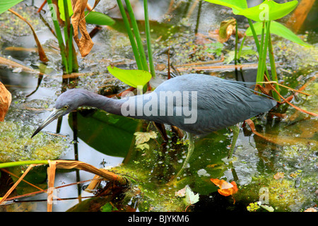 a Little Blue Heron in Florida USA - Stock Photo