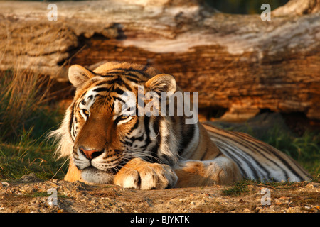 Sumatran tiger laying in front of  a fallen tree in the evening sun. Stock Photo