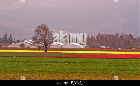 This image is a farmland with brightly colored fields of red and yellow tulips in the distance with a large, old - Stock Photo