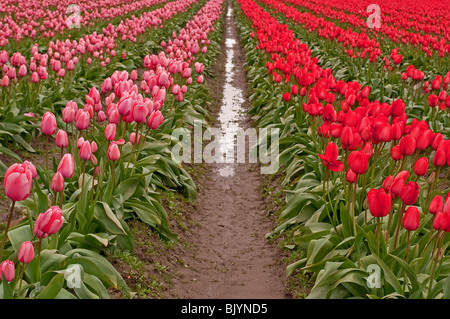 This image shows an infinity of rows of bright pink and red tulips after a spring rain, complete with raindrops - Stock Photo