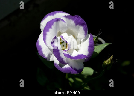 A variant of a Lisianthus (Eustoma russellianum) flower in full bloom from a residential garden in Waupaca, Wisconsin. - Stock Photo