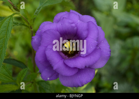 A Lisianthus (Eustoma russellianum) flower in full bloom from a residential garden in Waupaca, Wisconsin. - Stock Photo