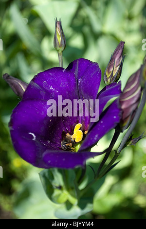 A Lisianthus (Eustoma russellianum) flower with a Bumblebee (Bombus) residing inside from a residential garden in - Stock Photo