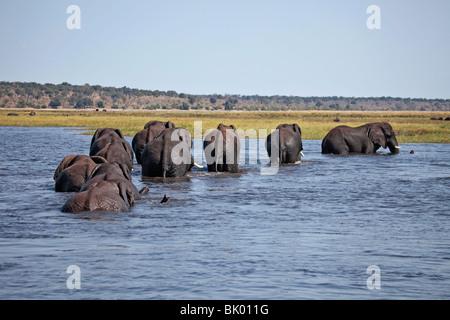 African Elephants crossing the Chobe River in northern Botswana going towards Kasikili/Sedudu Island for fresh vegetation. - Stock Photo