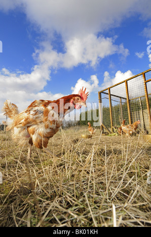 Rescued Ex Battery hens, (hybrids), re-homed on rural allotment, enjoying free-range retirement, Norfolk, Uk, February - Stock Photo