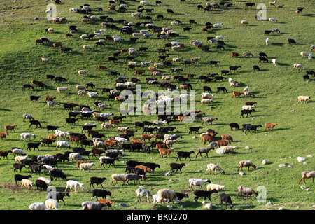 A flock of sheep grazing on a Jailoo - typical Kirghiz meadow on which livestock is raised - Stock Photo