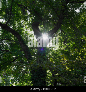 Sun shinning trough leafs of tree - Stock Photo