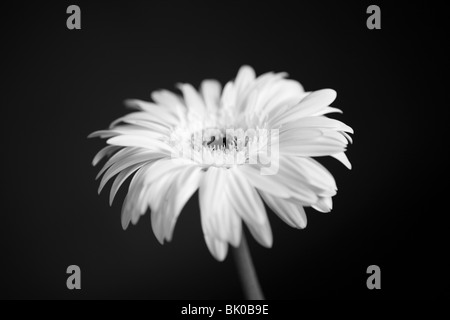 Black and white photo of white gerbera flower against a black background. - Stock Photo
