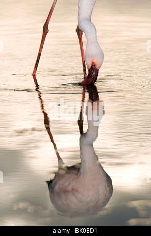 Flamingo Feeding - Lake Nakuru National Park, Kenya - Stock Photo
