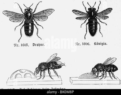 zoology, insects, honey bees (Apis mellifera), drone, queen and worker, wood engraving, Germany, 19th century, animals, - Stock Photo