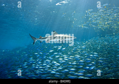 Blacktip Reef Shark, Carcharhinus melanopterus, swims over a huge school of fish. Uepi Island Solomon Islands - Stock Photo