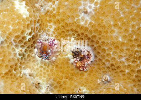 Coral hermit crabs, Paguritta sp - Stock Photo