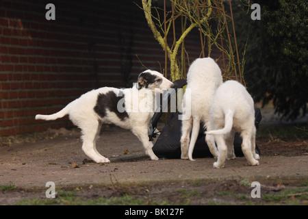 playing Borzoi puppies - Stock Photo