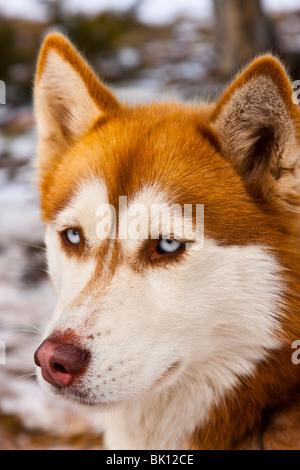 Sled dog - Stock Photo