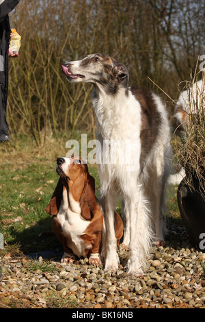 Basset Hound and Borzoi - Stock Photo