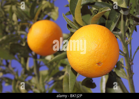 oranges fruit on a orange tree with sky - Stock Photo