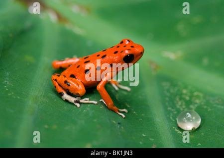 Red Dart Frog (Dendrobates pumilio), Panama - Stock Photo