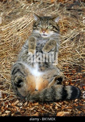 Scottish Wild Cat, Felis silvestris grampia, Felidae, Northern and Western Scotland. In Untypical Playful Mood. - Stock Photo