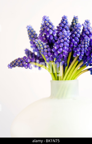 bunch of muscari or grape hyacinth in a vase can against a white background - Stock Photo