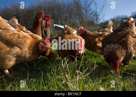 Free range hen chickens roam in a green field belonging to a smallholding farm in North Somerset, England. - Stock Photo
