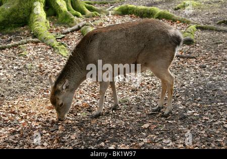 Sika Deer, Cervus nippon nippon, Cervidae. Female, Doe. - Stock Photo