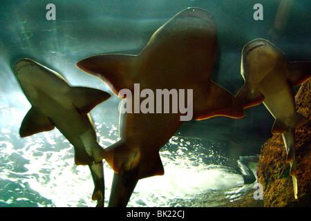 Basking sharks in the aquarium, Loro Parque, Tenerife, Canary Islands, 2007. - Stock Photo