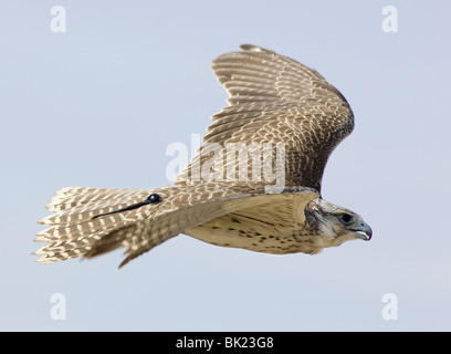 Gyrfalcon in flight showing tracking device at base of tail - Stock Photo