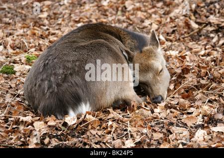Sika Deer Fawn, Cervus nippon nippon, Cervidae. - Stock Photo