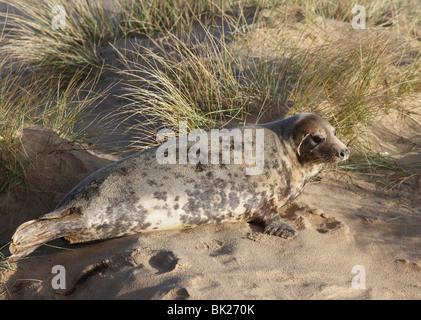 Grey seal (Halichoerus grypus) cow amongst sand dunes - Stock Photo