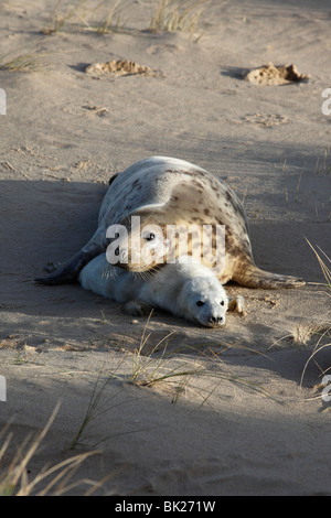 Grey seal (Halichoerus grypus) cow with young pup in sand dunes - Stock Photo