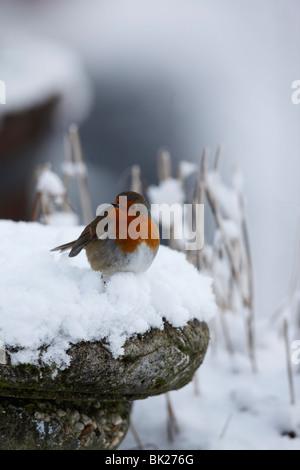 Robin (Erithacus rubecula) perching on birdbath - Stock Photo