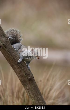 Grey squirrel (Sciurus carolinensis) sitting on dead branch