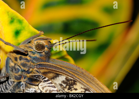 Owl Butterfly (Caligo memnon) close-up showing head and antennae, native to South America - Stock Photo