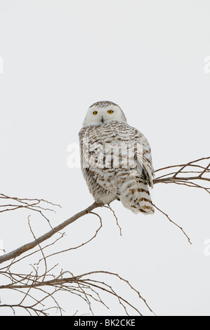Snowy Owl (Nyctea scandiaca) perched in tree, Quebec, Canada. - Stock Photo